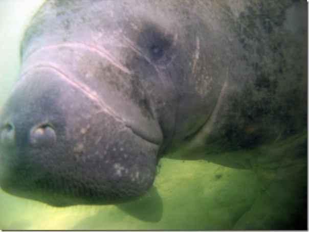 Photo Ed took of manatee in Florida's Crystal River